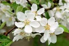 Apple flowers closeup Royalty Free Stock Photos