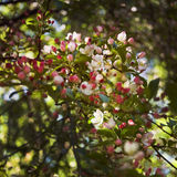 Apple flowers. The Apple flowers colors: pink and white; during the spring bloom Stock Photo