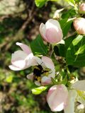 Apple flowers feed the bumblebee stock images