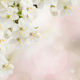 Apple  Flowers in garden Stock Images