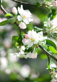 Apple flowers on the green Stock Photos