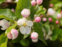 Apple flowers Stock Image