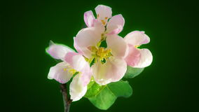 Apple flowers on green stock video footage