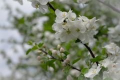 Apple flowers are hello from spring!. Apple tree in bloom. White flowers of apple in spring. Symbol of love, joy, flowering, hope. First, the buds are pink, then stock images