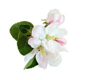Apple flowers Royalty Free Stock Photos