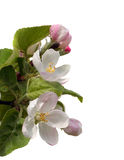 Apple flowers Royalty Free Stock Images