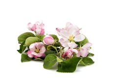 apple flowers isolated Royalty Free Stock Photo