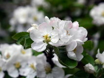 Apple flowers and leaf Stock Images