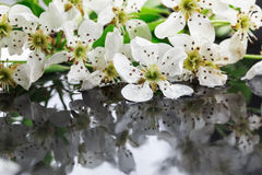 Apple flowers and leaves with water drops Royalty Free Stock Photography