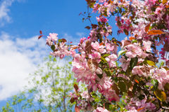 Apple flowers over blue sky royalty free stock images