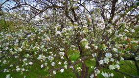 Apple flowers pan. Panning of blooming apple tree with flowers on the branches. FullHD 1080p stock footage