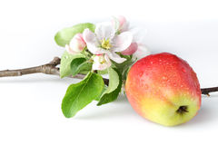 Apple flowers and ripe red apples Stock Photos