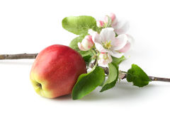 Apple flowers and ripe red apples Royalty Free Stock Photos