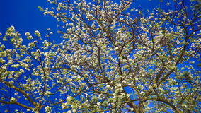 Apple flowers on sky. Apple flowers on deep blue sky background. FullHD 1080p stock footage
