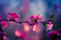 Apple flowers,Spring blossom. Branch with pink sakura blossoms. Natural background. Spring concept Stock Photo