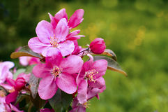 Apple flowers, Spring blossom on green Stock Images