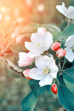 Apple flowers in spring blossom lit by soft sunlight -natural spring floral background in pastel tones Royalty Free Stock Images