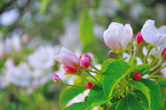 Apple flowers in spring blossom in sunny weather -natural spring floral background Royalty Free Stock Photo