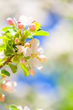 Apple flowers in spring Stock Photography