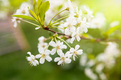 Apple flowers. Spring flowering Apple-tree on natural background Stock Photo