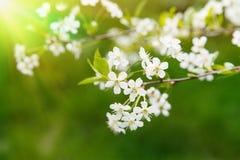 Apple flowers. Spring flowering Apple-tree on natural background Stock Image