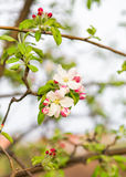 Apple flowers, spring flowers Royalty Free Stock Photos