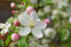 Apple flowers, spring flowers Stock Photos