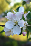 Apple flowers. Spring Garden. A branch of apple tree in bloom Royalty Free Stock Images