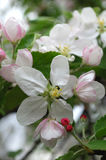 Apple flowers. Spring Garden. A branch of apple tree in bloom Royalty Free Stock Photography