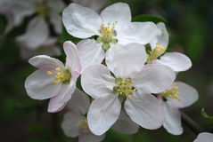 Apple flowers. Spring Garden. A branch of apple tree in bloom Stock Images