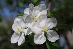 Apple flowers. Spring Garden. A branch of apple tree in bloom Royalty Free Stock Image