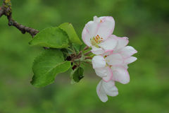 Apple flowers in spring garden Royalty Free Stock Photo