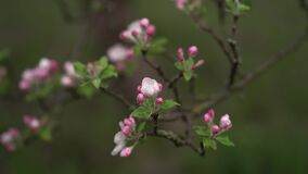 Apple flowers. spring. morning. cloudiness