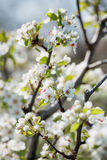 Apple flowers in the spring .Soft image of a blossoming apple tr. Apple flowers in the spring .Soft image of a blossoming tree Stock Photography