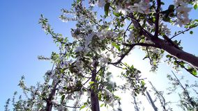 Apple flowers, spring time of beauty, love, youth. Spring, blooming apple garden, shooting in motion, against the light. Apple trees, flowers, leaves glow in the stock video footage