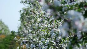 Apple flowers, spring time of beauty, love, youth. Spring, a blossoming apple garden, shooting in motion, Apple trees, flowers, leaves glow in the sun, against stock footage