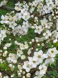 Apple flowers. Tender white apple blossom royalty free stock image