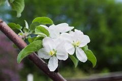 Apple flowers on a tree branch in the garden stock photos