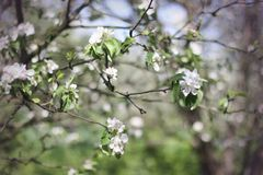 Apple flowers tree, spring Royalty Free Stock Photo