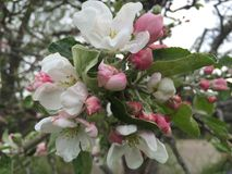 Apple flowers. Apple tree flowers in the spring Royalty Free Stock Photos