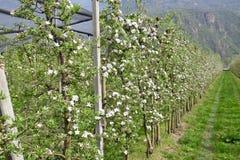 Apple flowers trees Stock Image