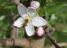 Apple flowers trees Stock Photography
