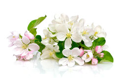 Apple flowers on a white background Royalty Free Stock Photos