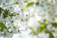 Apple flowers white close-up, macro, blurred background stock image