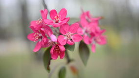 Apple flowers Stock Photography