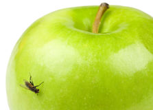 Apple and Fly. A green apple with a fly on it Stock Photos