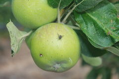 Apple with fly Royalty Free Stock Image