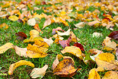 Apple foliage autumn Stock Photography