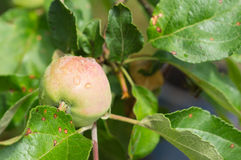 Apple among foliage on a branch after a rain Stock Photography