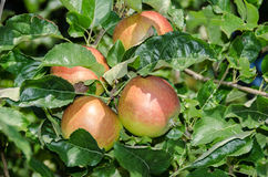 Apple foliage and ripening red fruits Royalty Free Stock Image